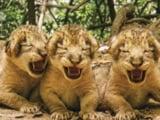 Video: गीर के जंगलों में 11 शावकों का जन्म, वन अधिकारियों के चेहरे पर लौट आई रौनक