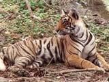 Video: जानें जंगलों में हुकूमत करने वाले बाघ कैसे बनाते हैं 'पर्यावरणीय संतुलन'