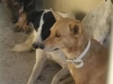 Video : Amidst Protests Over Culling, Kerala Starts Sterilisation Drive for Stray Dogs