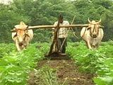Video: A Farmer Dies: Suicide or Murder?