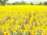 Video : In Drought Hit Marathwada, Sunflower Fields Still Bloom