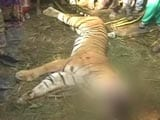 Video : Tiger Beaten to Death by Villagers in Uttar Pradesh's Bijnaur