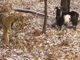 Tiger and Goat Forge Unlikely Friendship in Russian Zoo