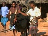 Video : In Centre's Talks To Legalise 'Jallikattu', Many Await Return Of Bull Taming