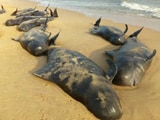 100 Whales Wash Up At Beach 600 Km From Chennai