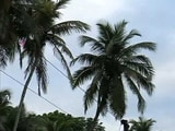 Video : Goa's Humble Coconut Tree Strikes A Controversy