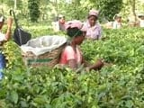 Video: Assam Tea Workers Await Tribal Status As Congress, BJP Fight For Their Vote