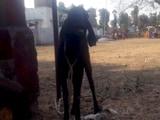 Video: छत्तीसगढ़ : जज की शिकायत पर बकरी और उसका मालिक गिरफ्तार