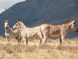 Video: South African Conservationists Seek to Revive Extinct Zebra Species