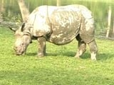 Video : Assam's Rhinos Fall To Poachers As Political Parties Lock Horns