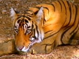 Video: BR Hills: The Only Tiger Reserve to House Indigenous Community
