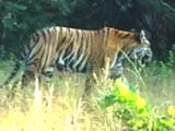 Video : Indian Tigers May Roar In Cambodian Jungles Soon
