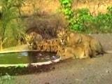 Video : गुजरात के गीर के जंगलों में नौ शेर एक साथ पी रहे पानी, देखें