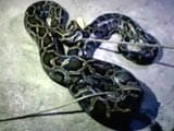 Video : 20-Foot Python 'Rescued' After Trying To Swallow A Goat In West Bengal