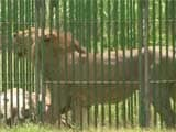 Video : 18 Lions On Trial For Murder In Gujarat. Culprit May Get Life In Zoo