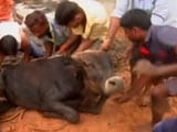Video : 500 Cows Starve To Death In Rajasthan Shelter, Their Hooves Stuck In Muck