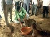 Video : Facing Flak On 'Gau Raksha', Minister Feeds Cows At Rajasthan Shelter