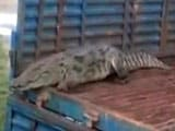 Video : Monsoon Horror: 8-Feet Crocodile Slithers Into Uttar Pradesh Village