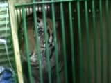 Video : Man-Eater Tiger Which Killed 4 People In 2 Weeks Captured, Sent To Lucknow Zoo