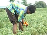 Video : Telangana's Tomato Overkill: Rs. 5 A Kilo, Farmers Desperate