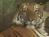 Video : Indore Techie Adopts Baby. Marries. Then A 2-Year-Old Tiger Joins The Family