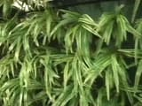 Video : Delhi May Solve Its Air Pollution Problem With 'Vertical Gardens'