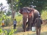 Video: 50 से ज्यादा दिनों से बीमार था हाथी 'सिद्धा', शुरू हुआ इलाज