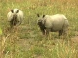Video: One More Rhino Killed In Kazhiranga, BJP Under Pressure To Stop Poaching