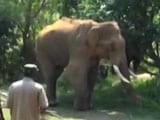 Stuck At Dam For Over 40 Days, Injured Elephant Sidda Gets Treatment