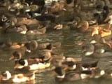 Hit By Bird Flu, Duck Farmers In Kerala Worry About Their Livelihood