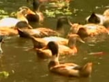 Video: Thousands Of Ducks Culled In Alappuzha