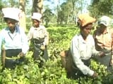 Video : Not Short On Cash, Why Assam Tea Workers Still Don't Have Money For Food