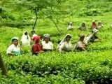 Always Paid In Cash, Bengal Tea Garden Workers Open First Bank Accounts