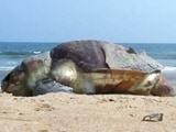 Video : 30 Olive Ridley Turtles Found Dead On Chennai Beaches