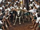 Video : No Stay On Tamil Nadu Law Allowing Jallikattu: Supreme Court
