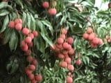 'Killer' Litchi The Cause Of Mystery Deaths In Muzzarfarpur
