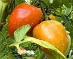 No evidence organic foods benefit health