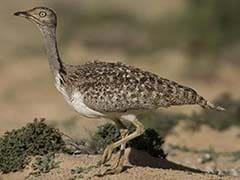 पनामा घोटाले से नवाज शरीफ को बचाने वाले कतर के शहजादे को लुप्तप्राय पक्षी का शिकार करने की इजाजत