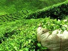 Majority of Tea Gardens in West Bengal Making Losses: Tea Association