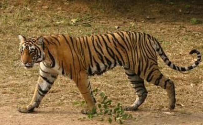 US Offers Technology to Track and Protect Indian Tigers