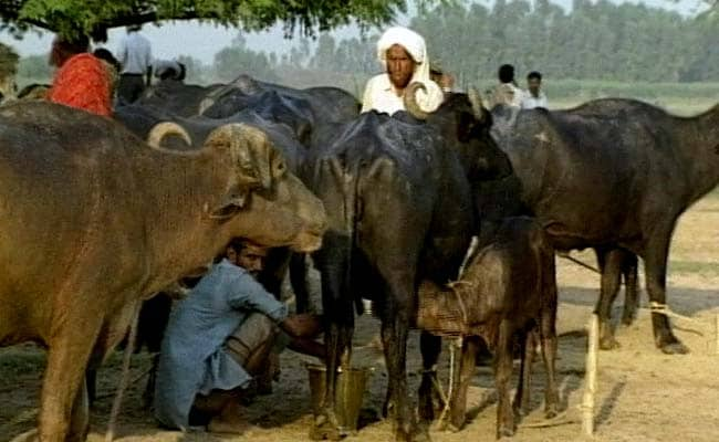 Why Ban Slaughter of Only Cows and Bulls: Bombay High Court asks Maharashtra Government