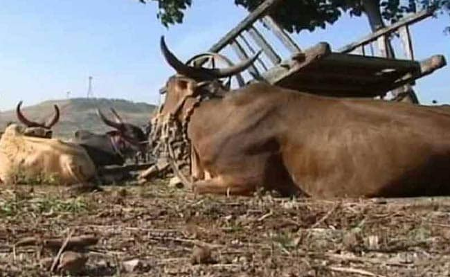 Cow Mugshots. Why Police in a Maharashtra Town Think It's a Good Idea