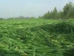 Farmers Worried as Rains Lash Parts of Punjab and Haryana