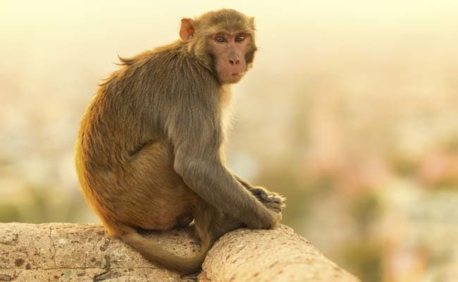 Monkey Attacking Train Drivers in Bihar is Seeking Revenge, Say Officials