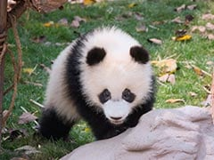 Giant Panda Gives Birth To Cub In China: Over Lakh Views Online