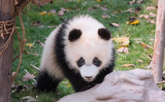 Panda bite - photo#38
