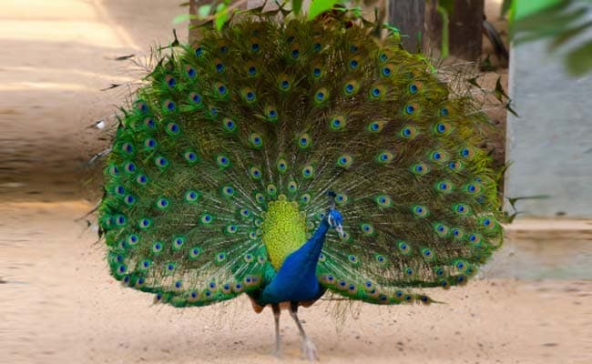 2 Peacocks Allegedly Killed by Security Forces in Purulia
