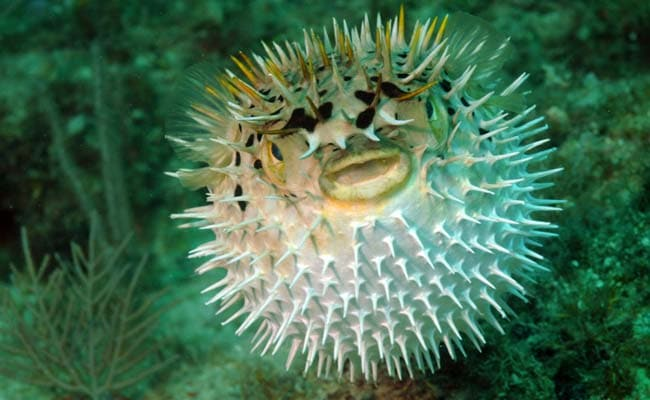 Men Taken Ill After Eating Poisonous Puffer Fish