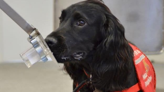 Dogs Trained to Detect Prostate Cancer with More Than 90% Accuracy