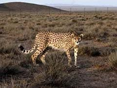 Mother Drops 2-Year-Old Son Into Cheetah Pit at Zoo